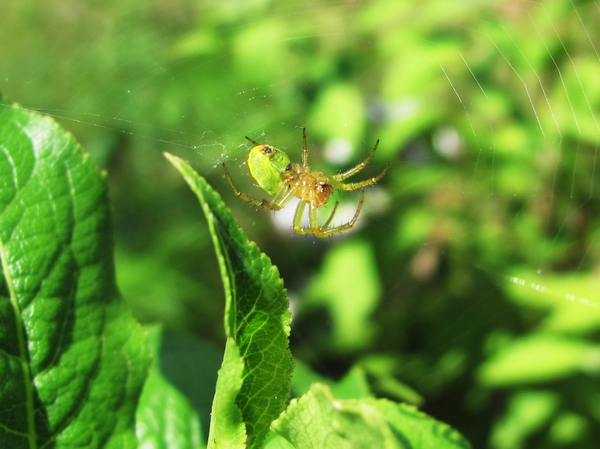 Spider: underside of a yellowish green spider in cobweb