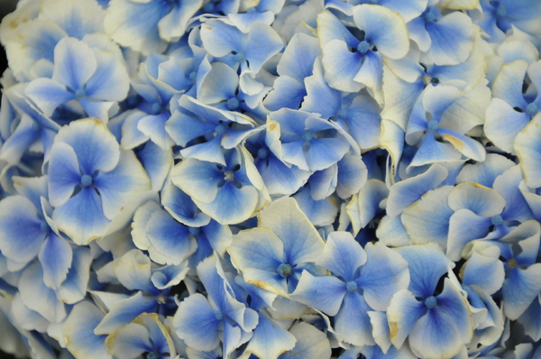flower background texture: blue and  white flowers