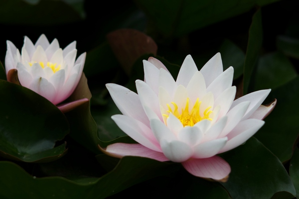 Waterlilies: Waterlilies with leafs