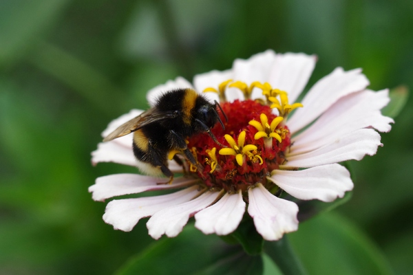 Youth and old age and bee: Common zinnia, youth-and-old-age, and a bumblebee.