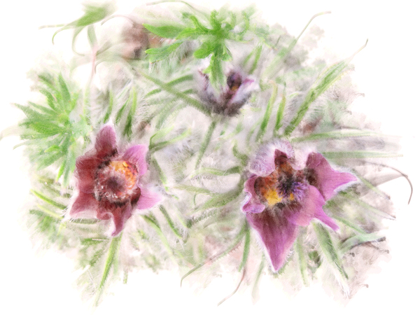 pasque flower: pasque flower - graphic design