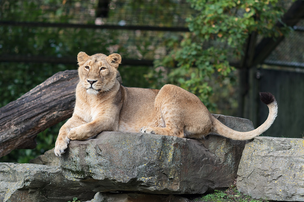 Lioness, queen of the world: Picture of 1 lioness laying on a rock in the zoo of Planckendael, Belgium.