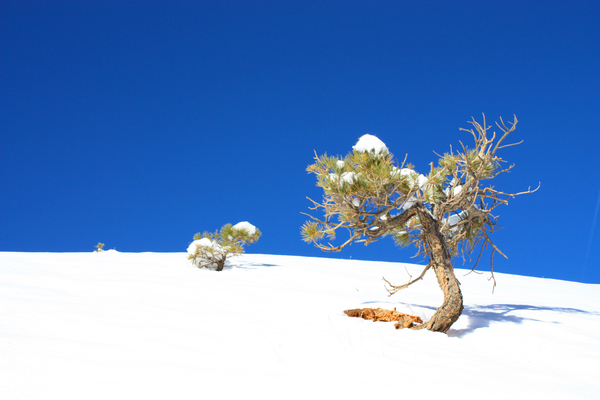 Small mountain pine tree 3