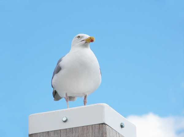 Seagull watching: A seagull watching the sea