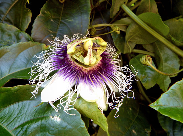 passionfruit flower1: unusual shape and parts of the passionfruit flower