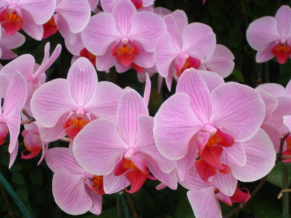 An Orchid in Pink