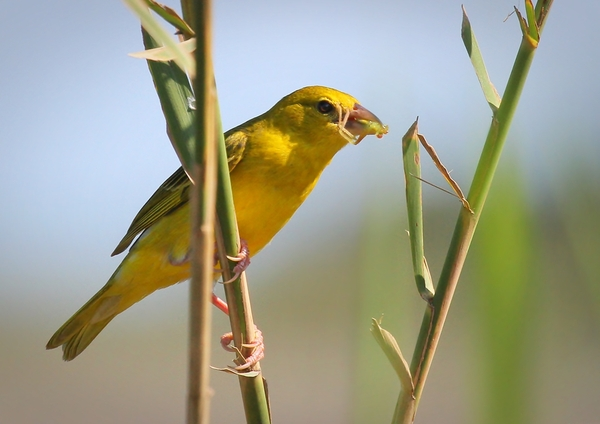 Yellow Finch/Weavers 3