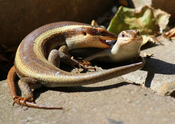 Lizards & the Mating Game