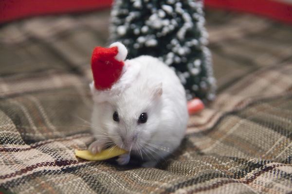 Christmas Treat: Shallow focus of a Christmas hamster eating a piece of cheese with a Christmas tree in the background. Landscape mode.