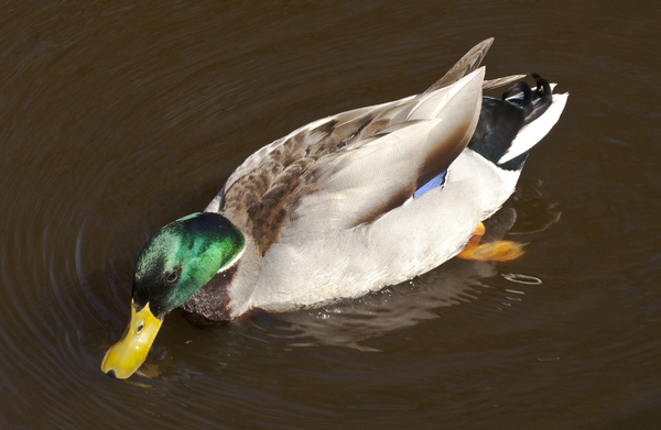 Foraging Duck