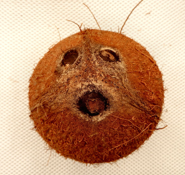 coconut2: unusual appearance of rough raw coconut end