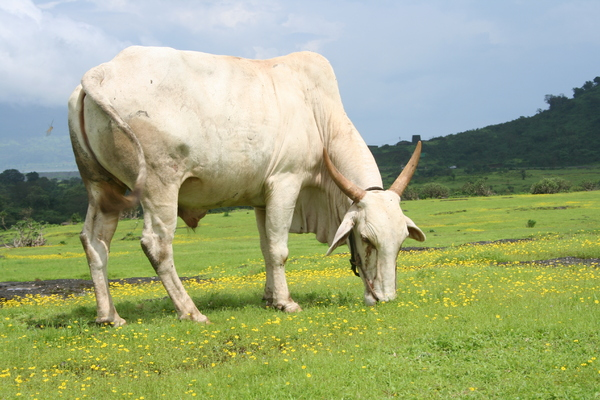 The Grazing Cow