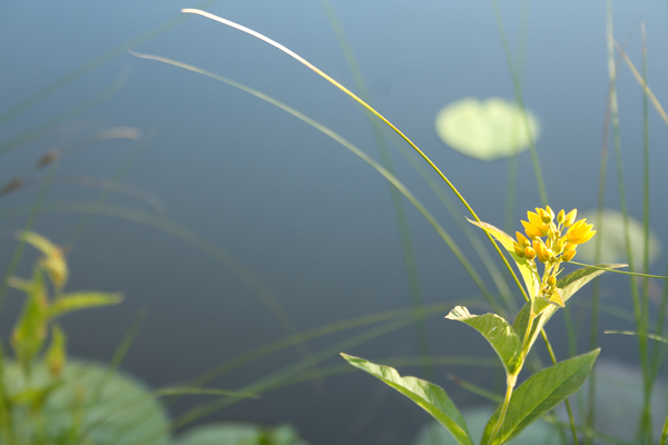 Yellow flower: Wild yellow water flower