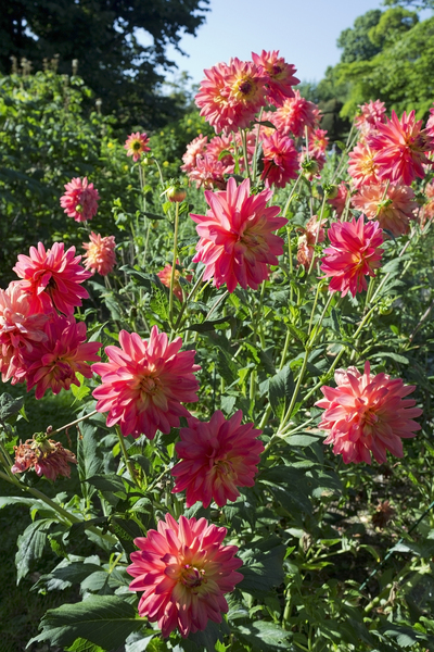 Orange-pink dahlias