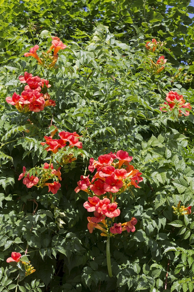 Mexican trumpet vine: Mexican trumpet vine (Campsis, also called glory vine) in a garden in France.