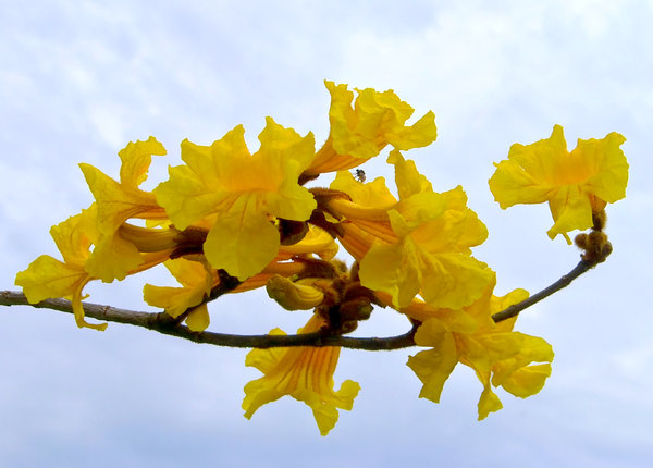 Yellow Flowers: Beautiful yellow or amber tree flowers against a cloudy sky, with a wandering insect.