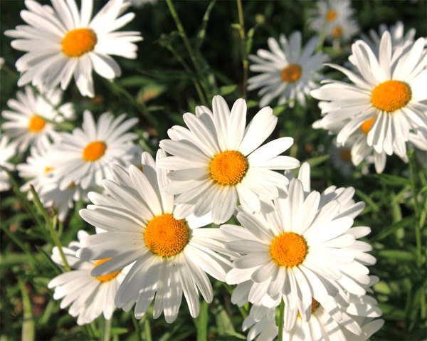 Daisies over warm sunlight