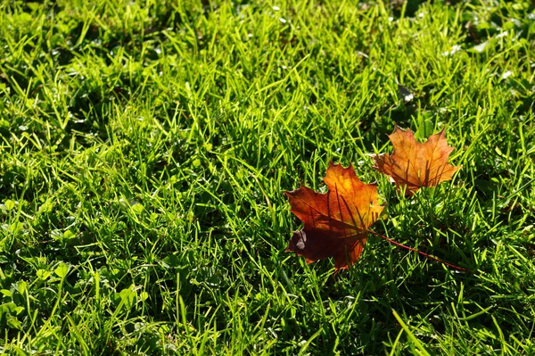 Two autumn leafs on the lawn