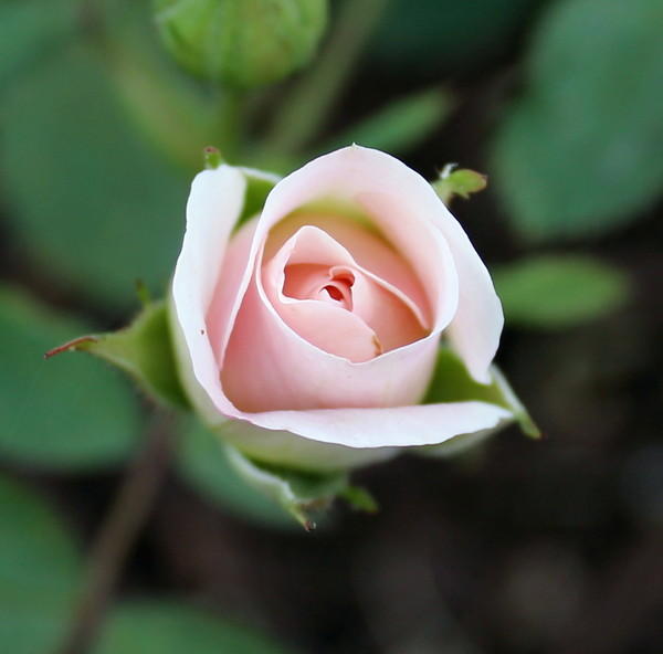 Rose Bud on the Prairies