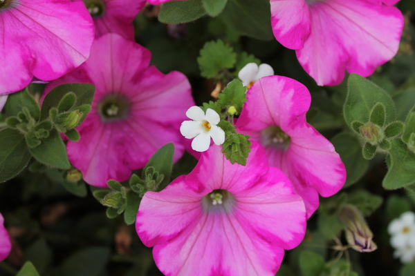 Blooming Petunias