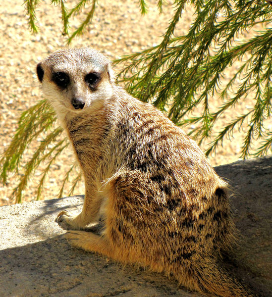 over the shoulder glance2B: meerkat on the lookout