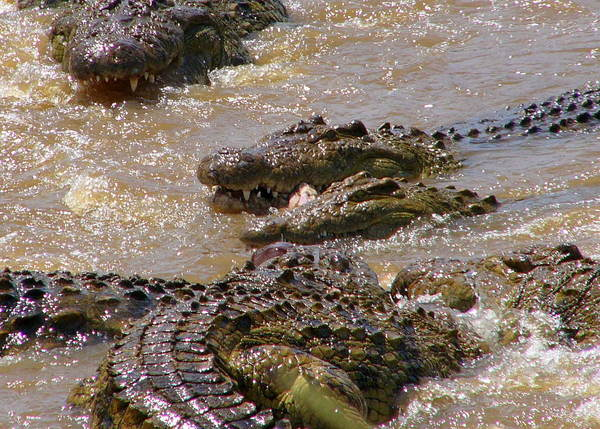 Crocodile feast: crocodiles feasting on a wildebeest carcas in the Mara river, kenya