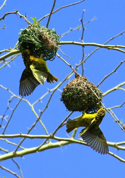 Yellow Weavers 5: build their nests in thorn trees to protect them from preditors and snakes