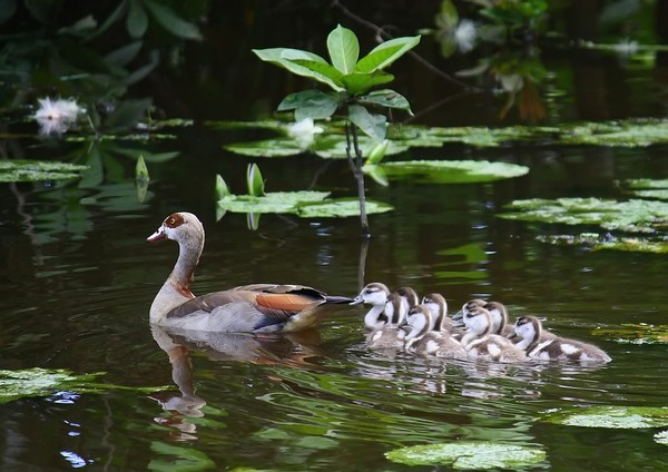 Egyptian goose: Parent with yo