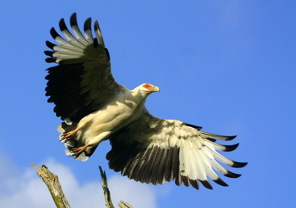 Vulture Wings 2: a Scarce Palmnut Vulture launching into taking off (Only to be found in a few areas in Southern Africa)