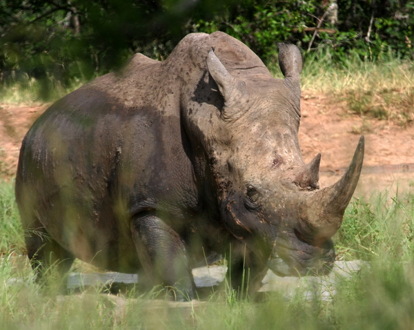White Rhino 2: White Rhino Pics, after a mud bath to protect them from insects, many being killed (poached) annually for their horns