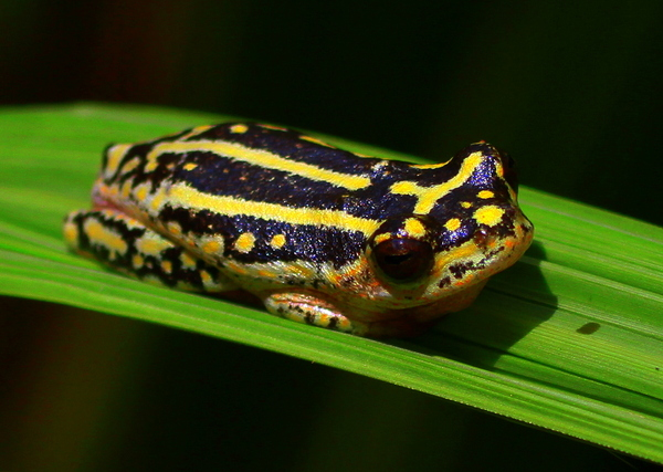 Reed Frog 2: a reed frog in the mid day sun