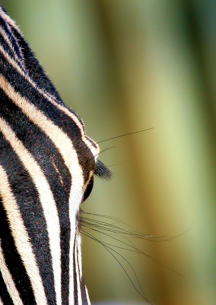 Zebra Eye 3: various Close-up's pics of Zebra eyes
