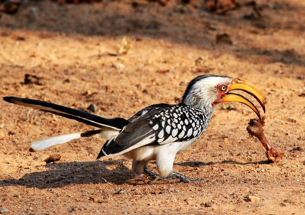 Yellow billed Hornbill 5: Southern Yellow-billed Hornbill