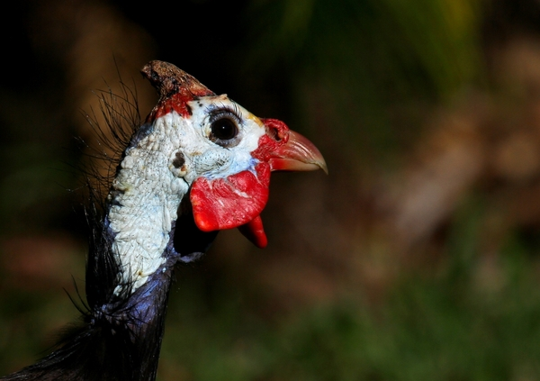 Helmeted Guinea Fowl 1: Close-up Images of the Guinea Fowl's head