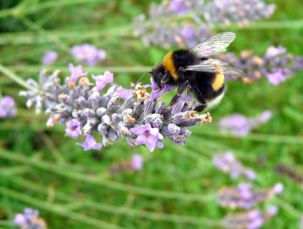 the bee and the lavender