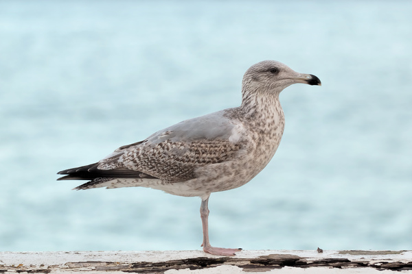 Seagull in front of sea