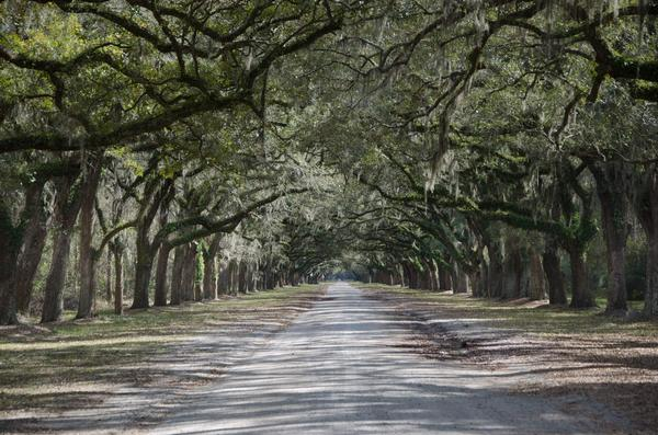 Plantation avenue of trees