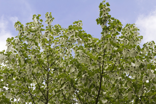 Handkerchief tree: The handkerchief tree or dove tree (Davidia involucrata) in flower in spring in a garden in England.