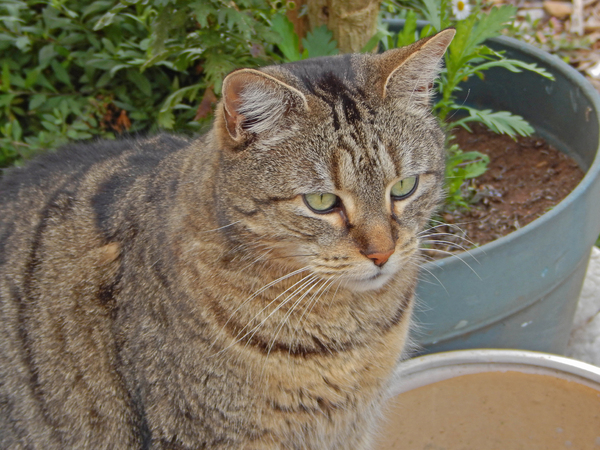 mammal: a tabby cat in among pot plants