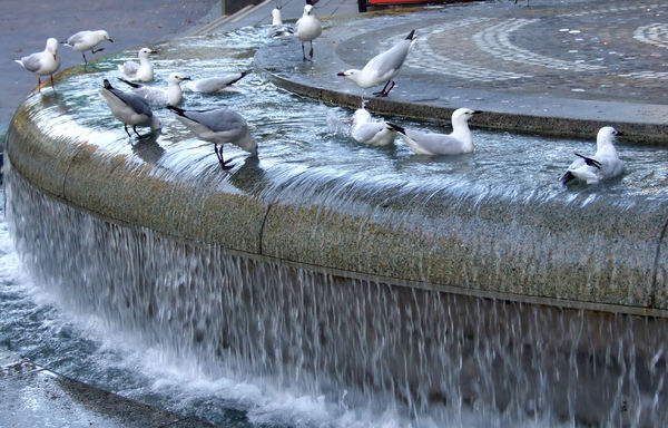 fountain gulls3