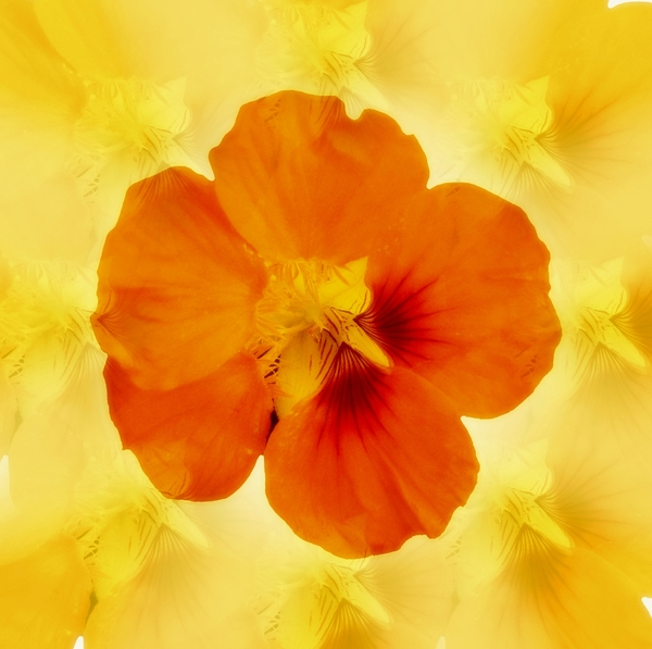 Nasturtium on Texture: An orange nasturtium on an textured background. You may prefer:  http://www.rgbstock.com/photo/2dyVOzM/Floral+Border+36  or:  http://www.rgbstock.com/photo/n6cBw84/Nasturtium+Abstract+5  or:  http://www.rgbstock.com/photo/2dyVmtN/Nasturtium+on+White