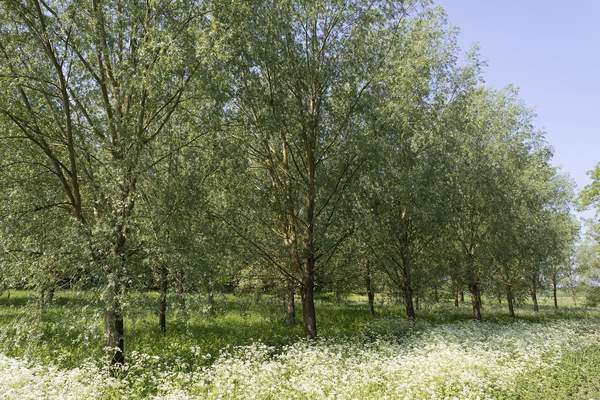 Willow plantation