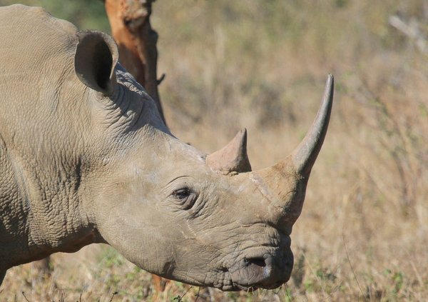 White Rhino (Rhinoceros) 2: White Rhino, (Grass Eating) hunted and killed in the most gruesome way for their horns and will soon be endangered