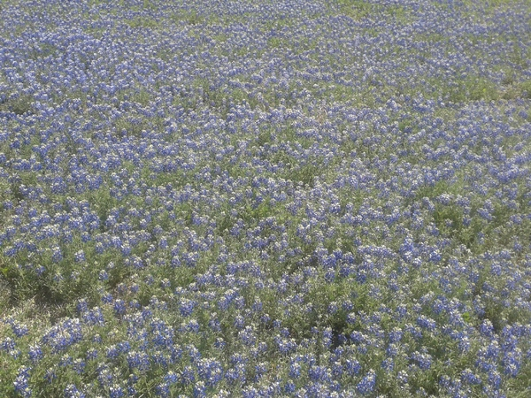 Irving Bluebonnets
