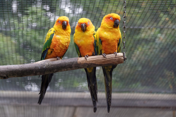 3 sun parakeets sleeping: A picture of 3 sun parakeets sleeping next to each other in the afternoon