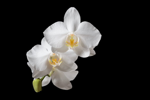 Orchid flowers: A close-up picture of orchid flowers