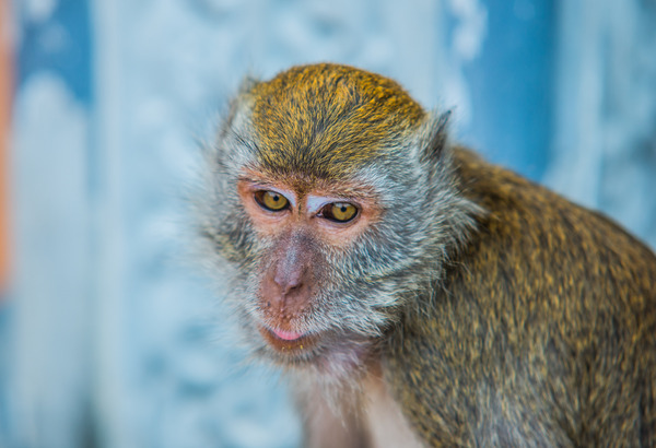 Monkey: Cynomolgus Monkey