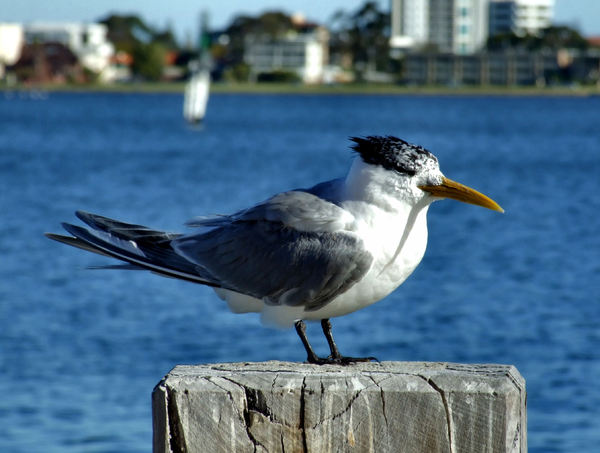 crested tern2: greater crested tern perched on river pier stump