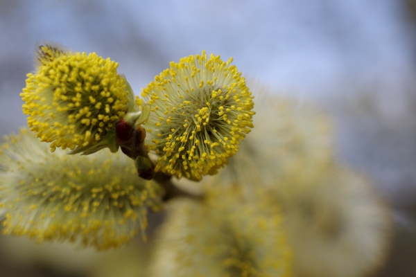 Flower of a willow tree: The flowers of a willow tree