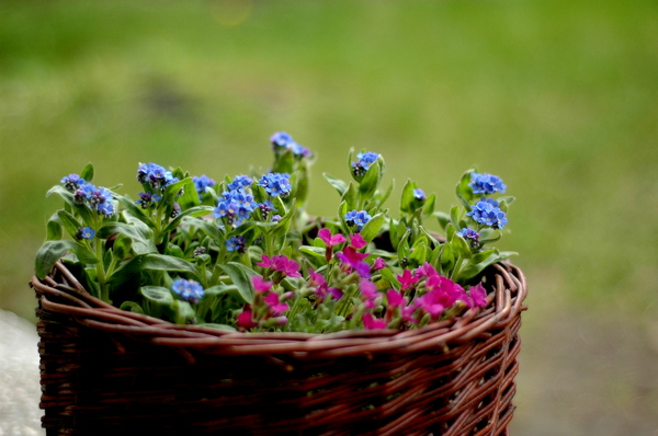 forget-me-not: Spring flowers.